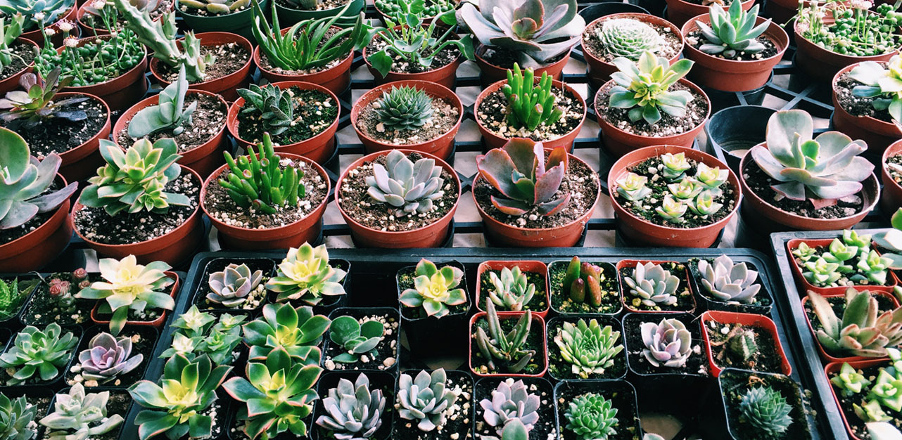 Cheap $1-$3 succulents for sale in Little Italy Mercado on Saturday mornings.