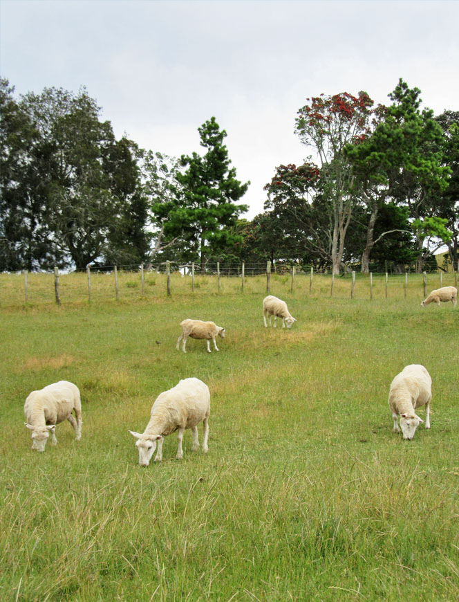 NZ Sheep